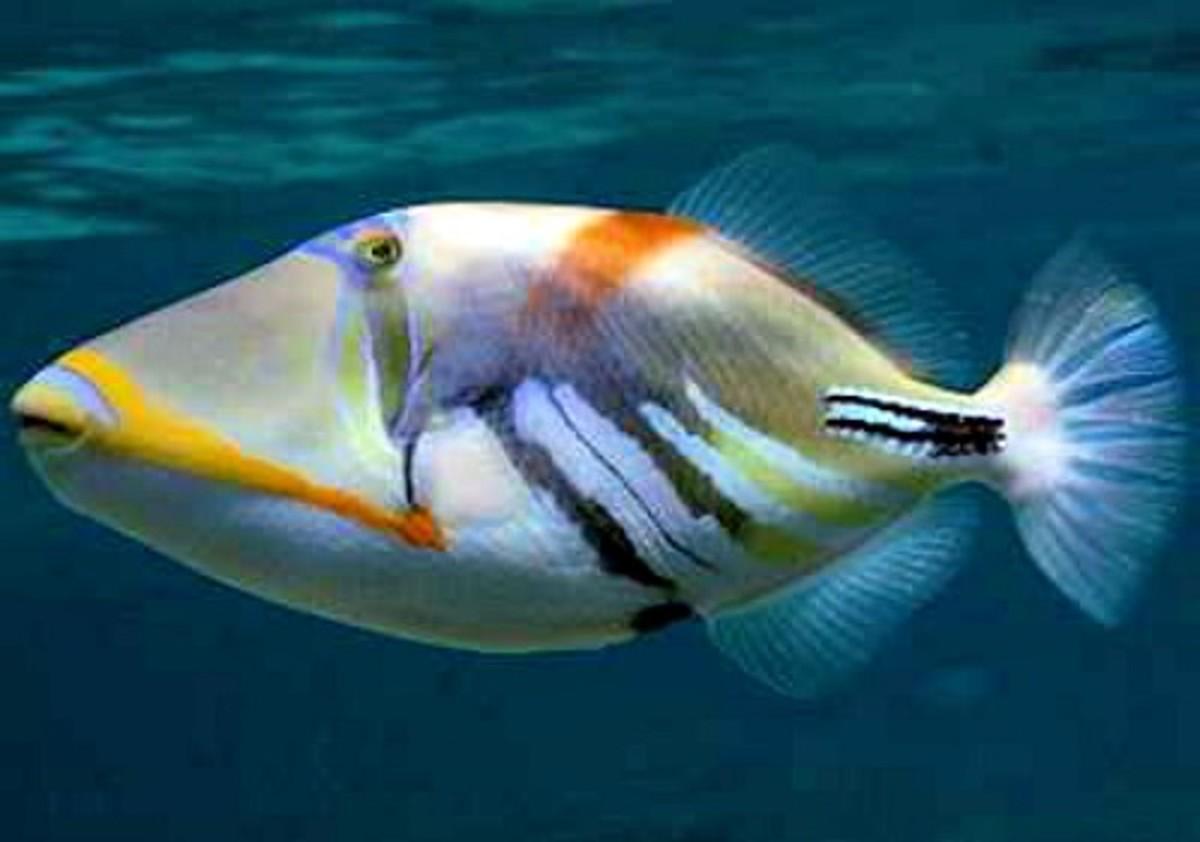 Humuhumunukunukuapua'a ~ Trigger Fish