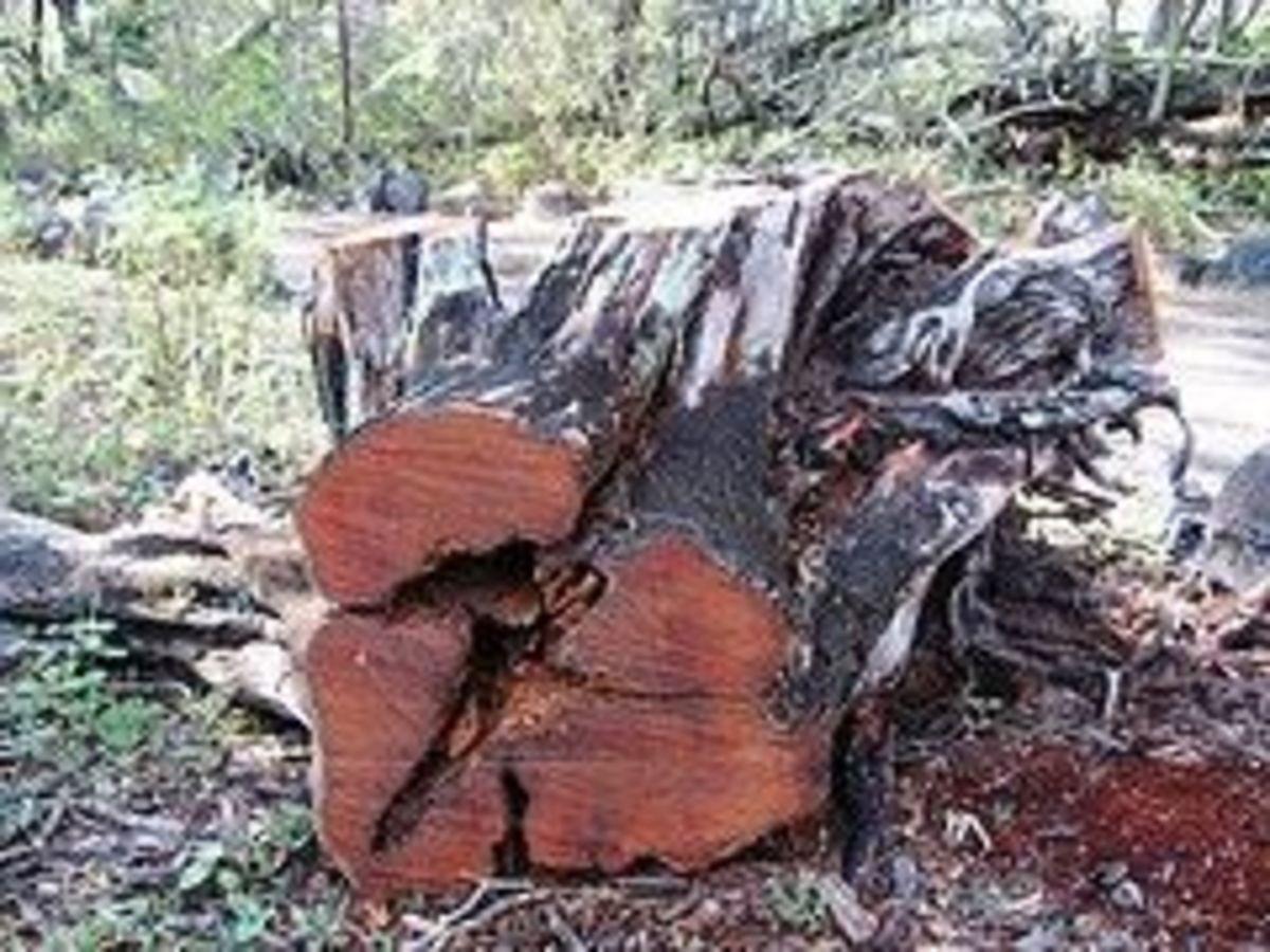 Koa is a native Hawaiian Hardwood  tree