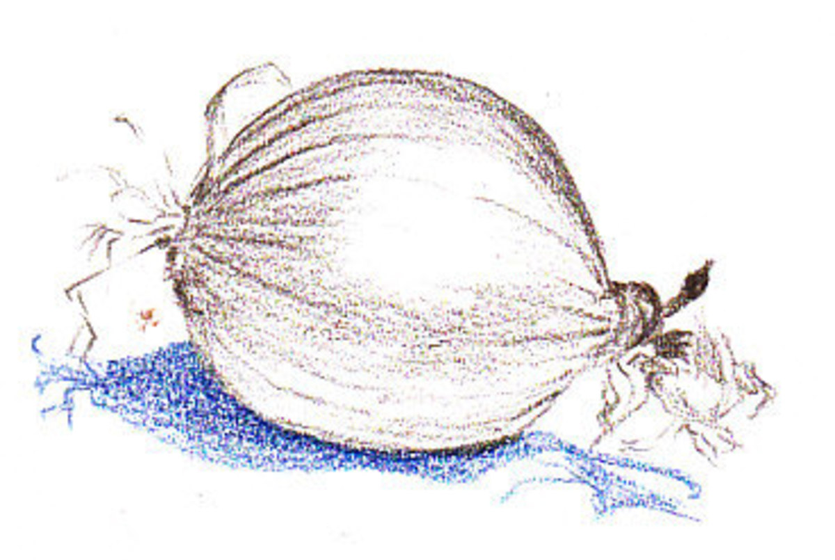 Onion sketched in Dark Brown and Indigo monochrome light tonal layers. Robert A. Sloan