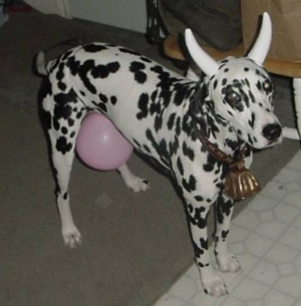 Dalmatian dog in a Cow Costume