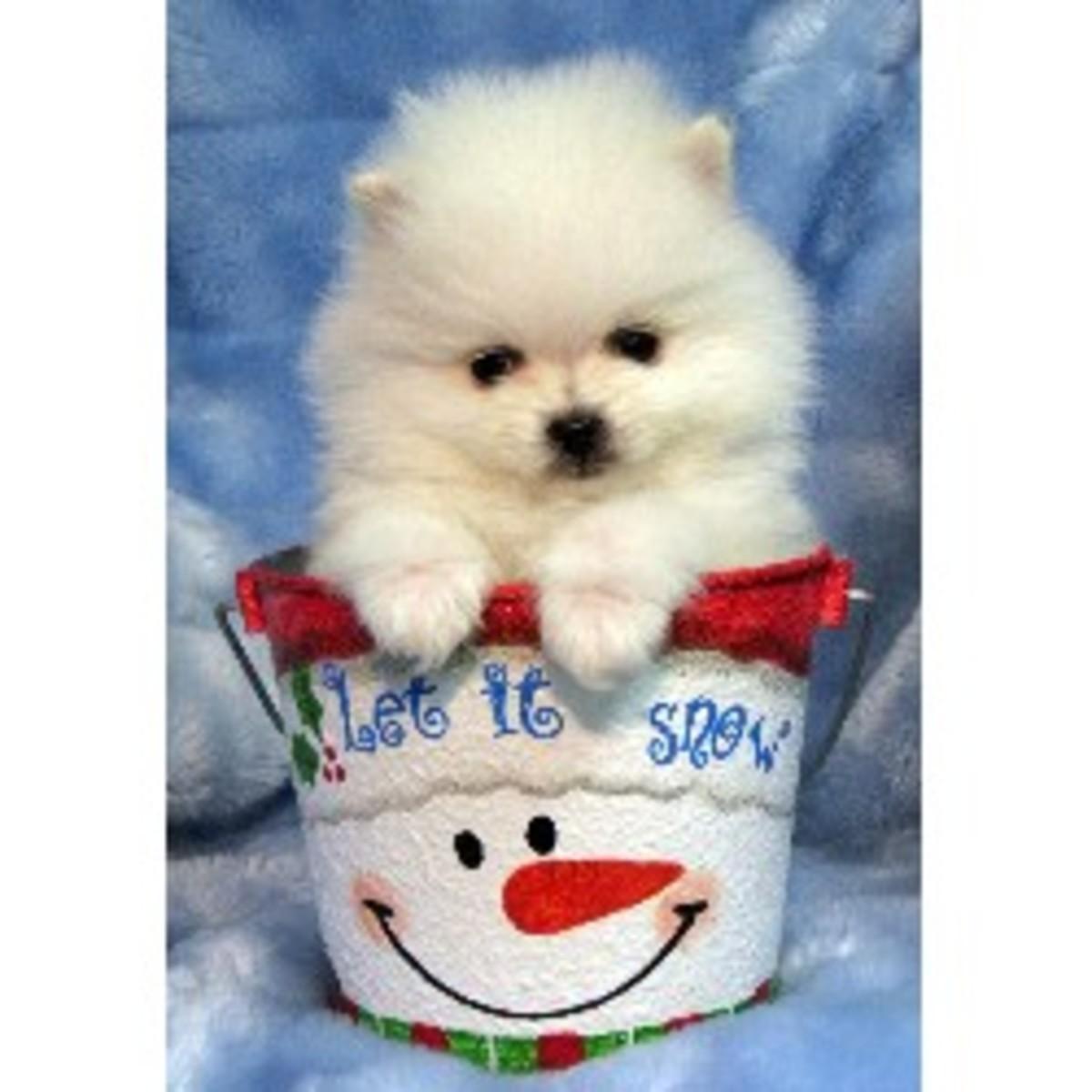 A Tiny Maltese Puppy