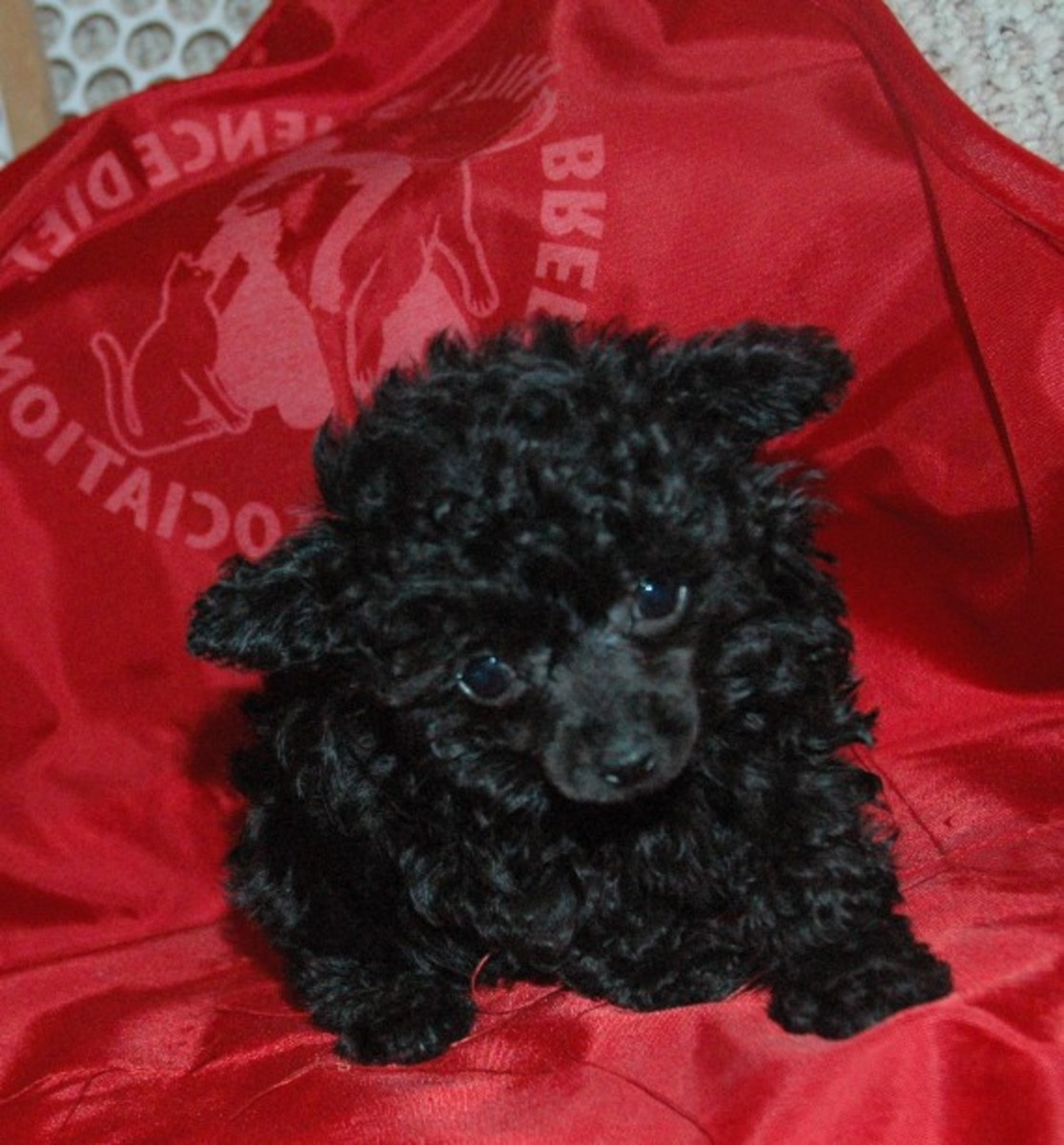 Teacup black Poodle Female
