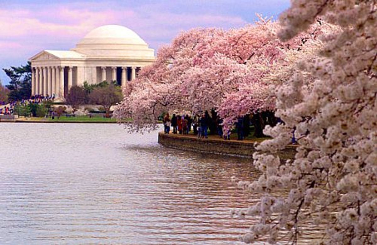 Cherry Trees in Washington D.C.