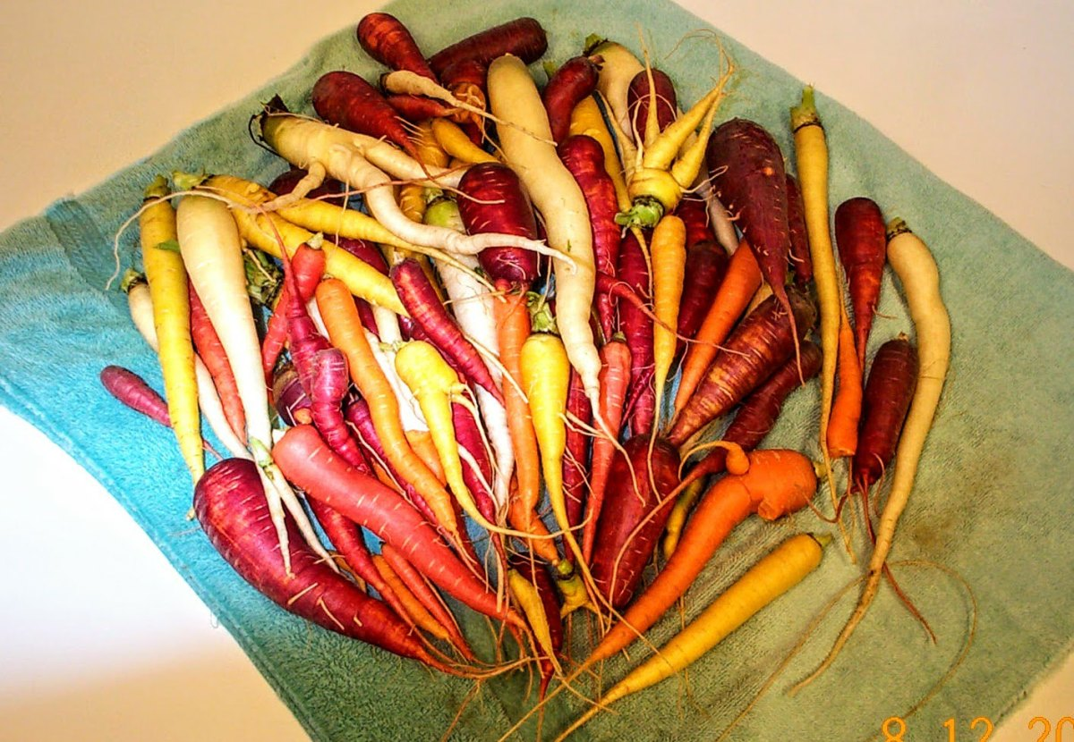 Rainbow Carrots and Other Non-Orange Varieties--Freezing Your Crop to Make the Most of It