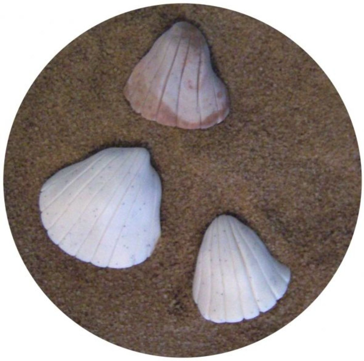 Cockle shells made with vanilla bean and cocoa fondant