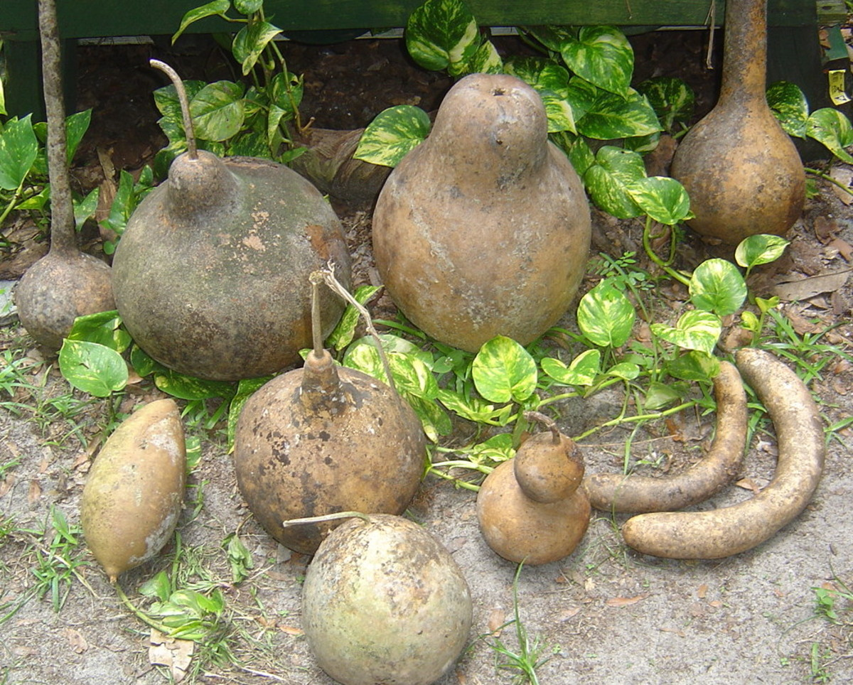 Dipper gourds, kettle gourds, snake gourds, basketball gourds, birdhouse gourds & more.  All before cleaning.