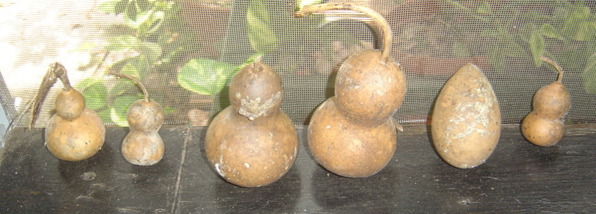 These are small ornamental gourds with the largest measuring about 4 inches tall.