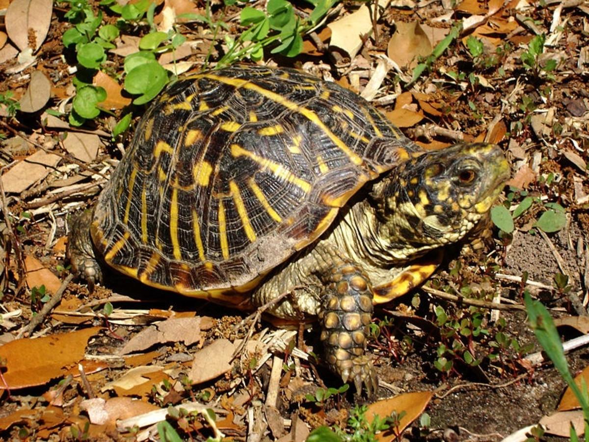 turtles-tortoises-terrapins-louisiana