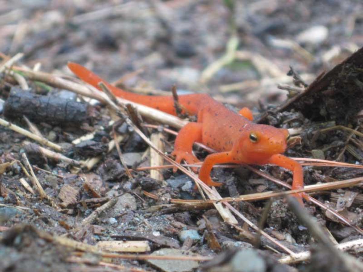 Red eft garden newt amphibian
