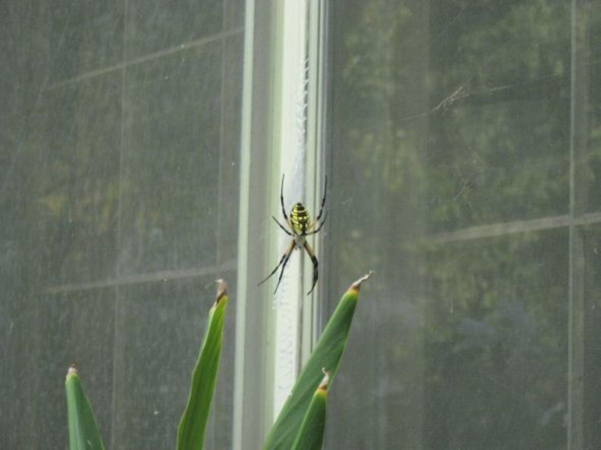 This Writing Spider is right outside my office window.