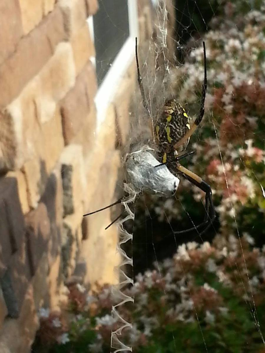 My friend, Blain, shared her close up photo of her Writing Spider