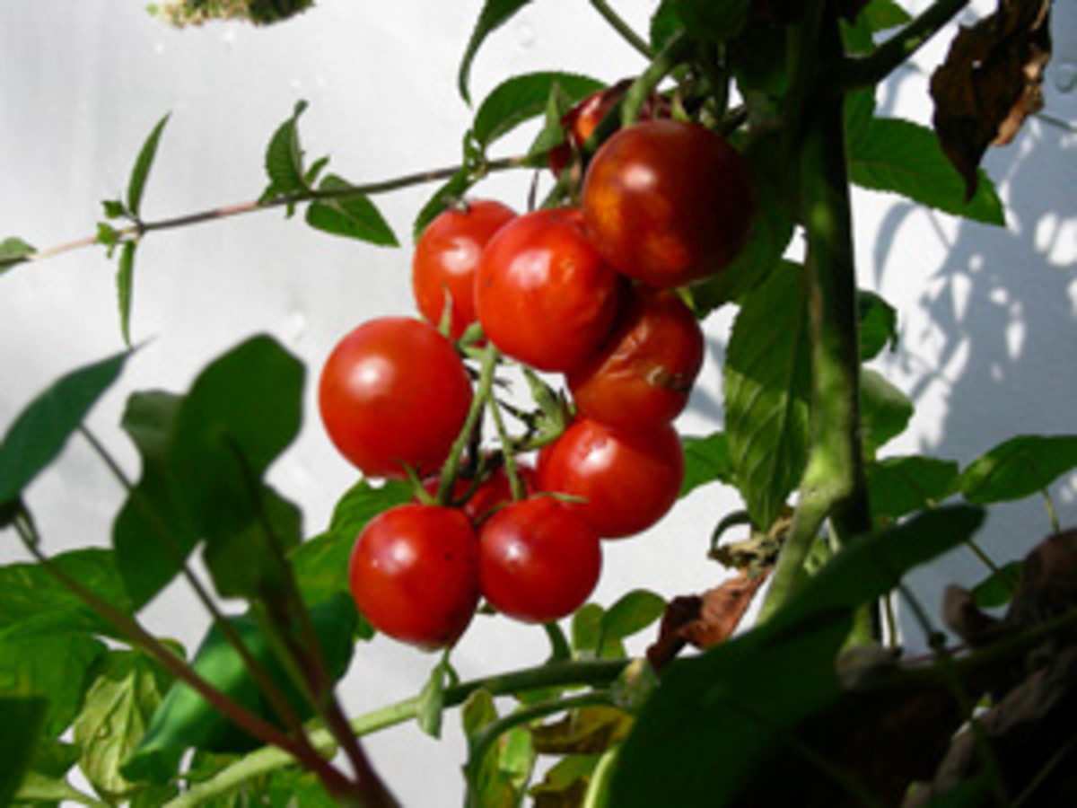 Cheery tomatoes