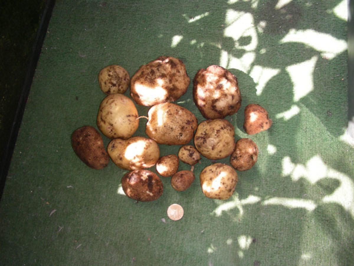 2 kg of potatoes of 3 varieties