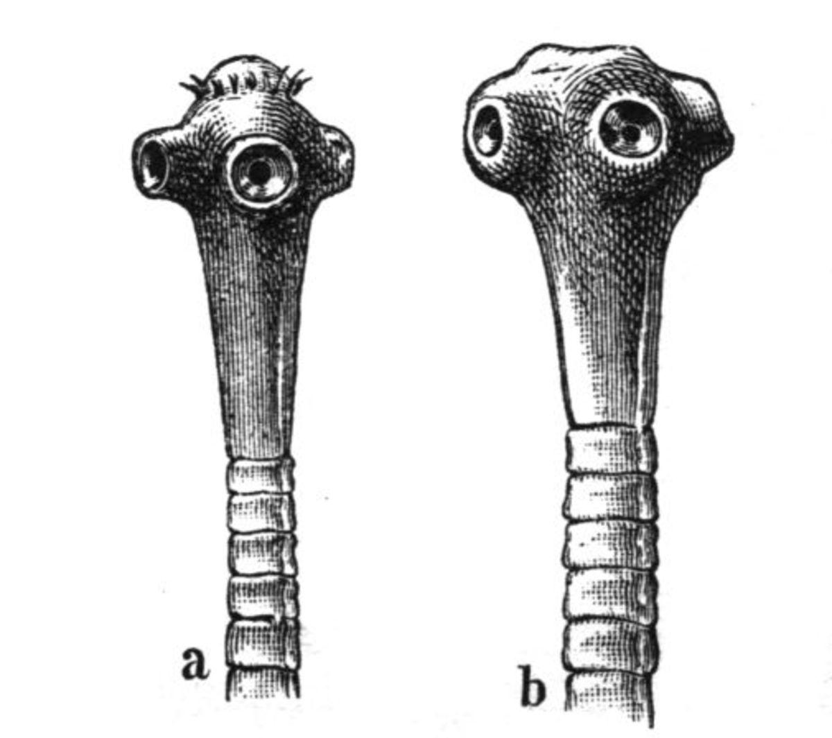 Head of a pork tapeworm (Taenia solium) and of a beef tapeworm (Taeniarhynchus saginatus)