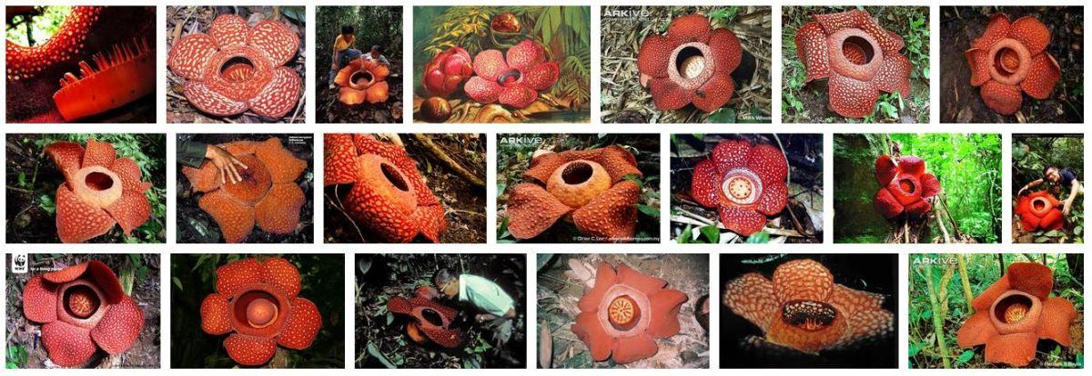 Different Species of Rafflesia-Part I