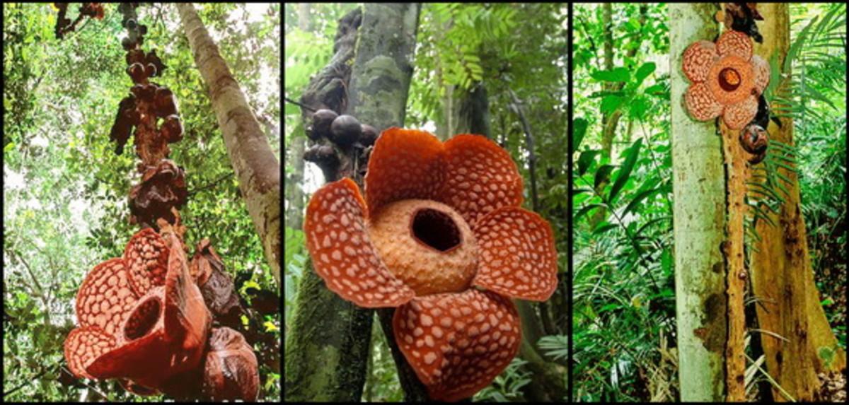 different-species-of-rafflesia
