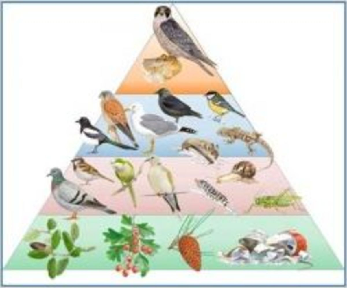 Ecological Food Pyramid