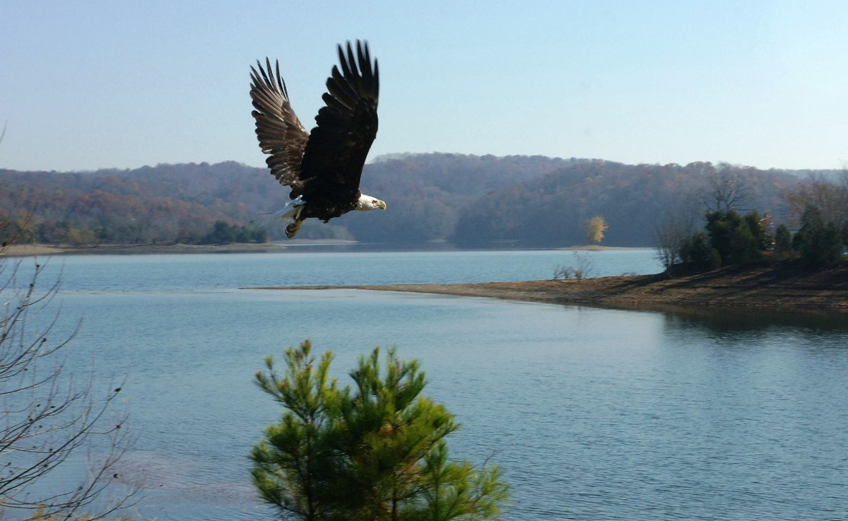An eagle at Dale Hollow (US Army Corps of Engineers is a  great group of photographers.)