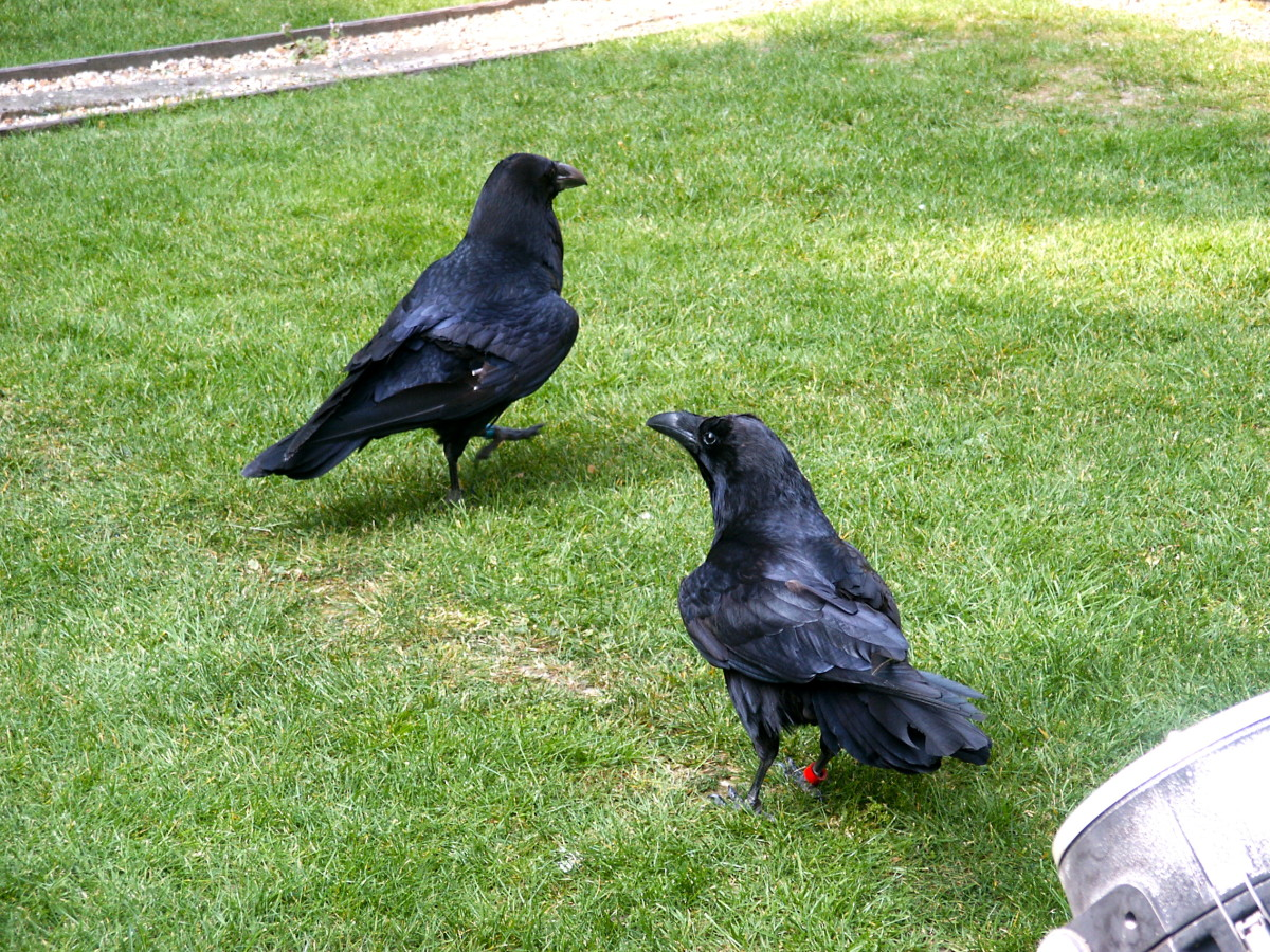 Two of the ten Tower of London ravens hop around on the lawn above the former torture chamber.