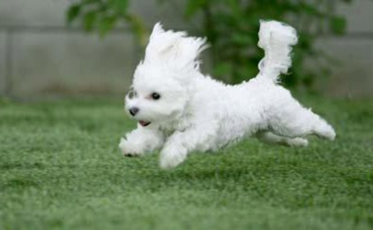 Bichon Puppies - Bichon Frise Dogs Love trotting around. Let your Bichon Puppy run in the backyard
