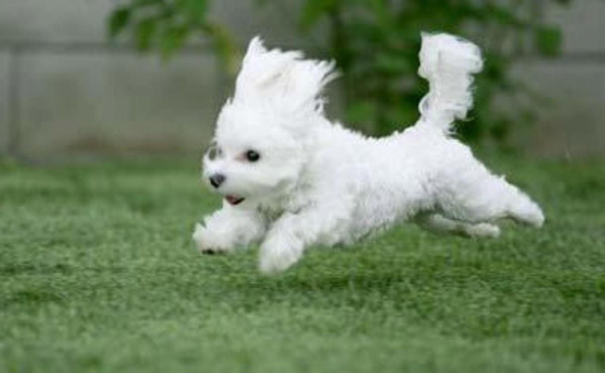 Bichon Puppies - Bichon Frise Dogs Love trotting around. Let your Bichon Puppy run in the backyard