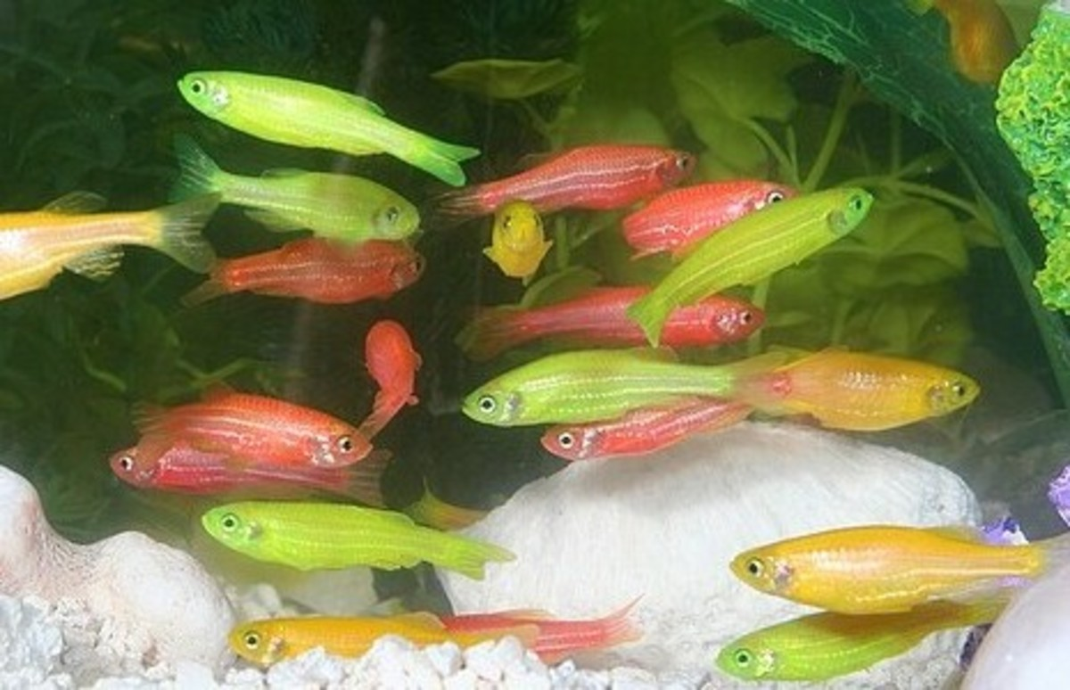 Dec 05, · Enjoy the beauty of freshwater aquarium fish from Petco. Perfect for the beginner aquarist, live freshwater fish brighten up every space.