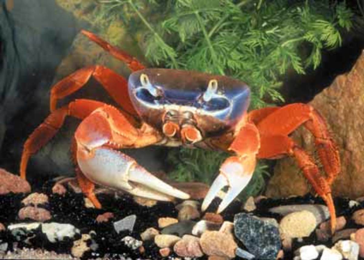 The Halloween Moon Crab is one of the most unusual and colorful crabs there is.