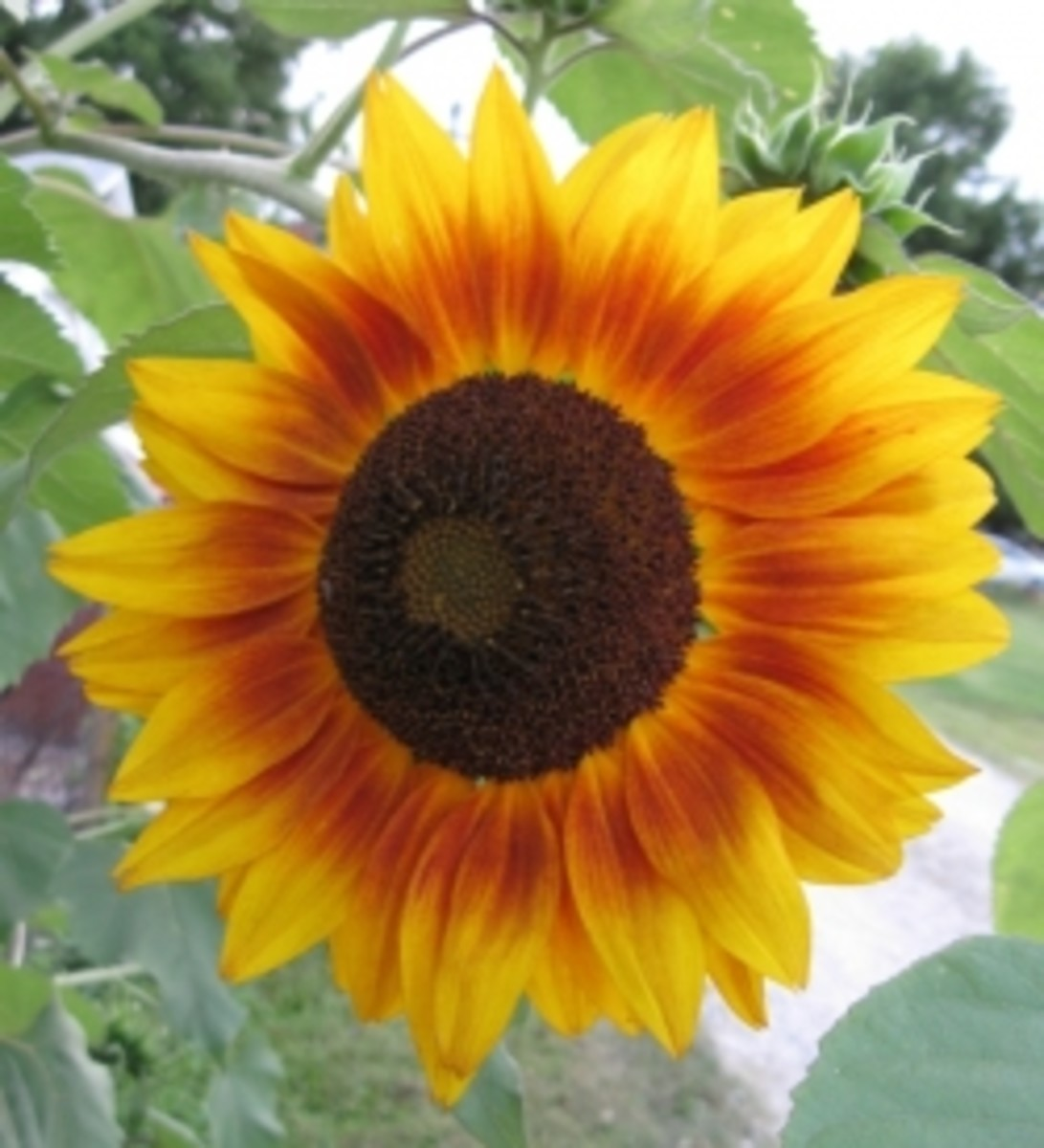 Sunflower Pictures and More
