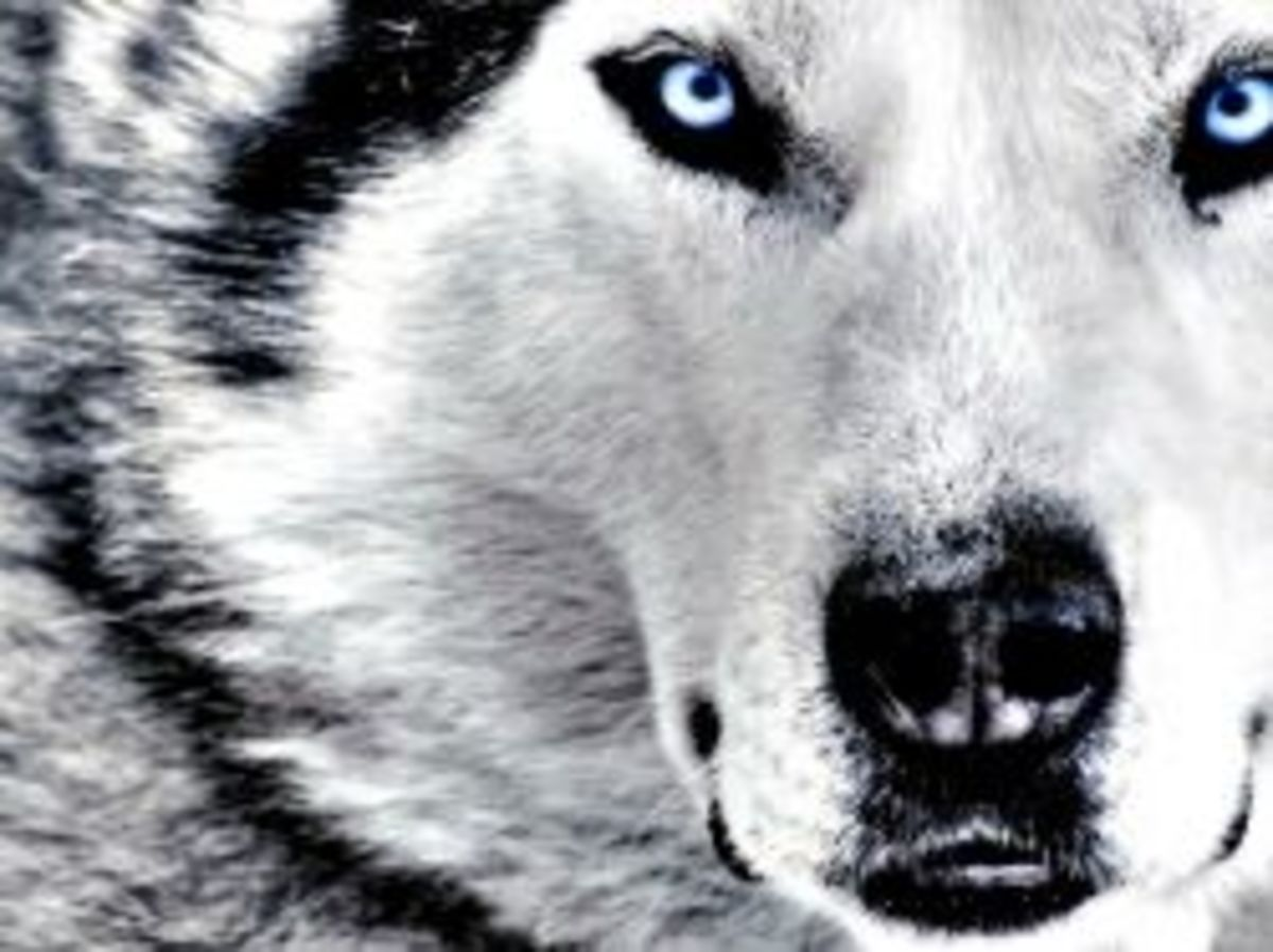 "Siberian Huskies - A True ""Snow Dog"""