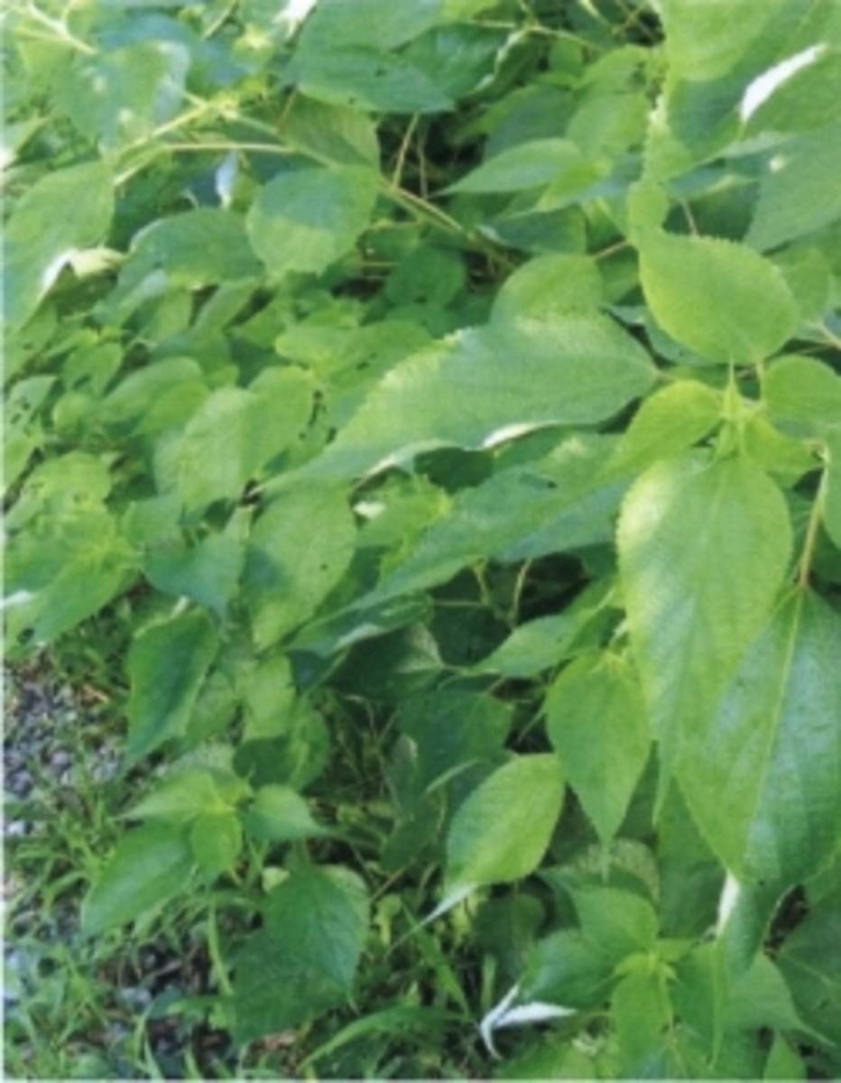 Ramie Plant
