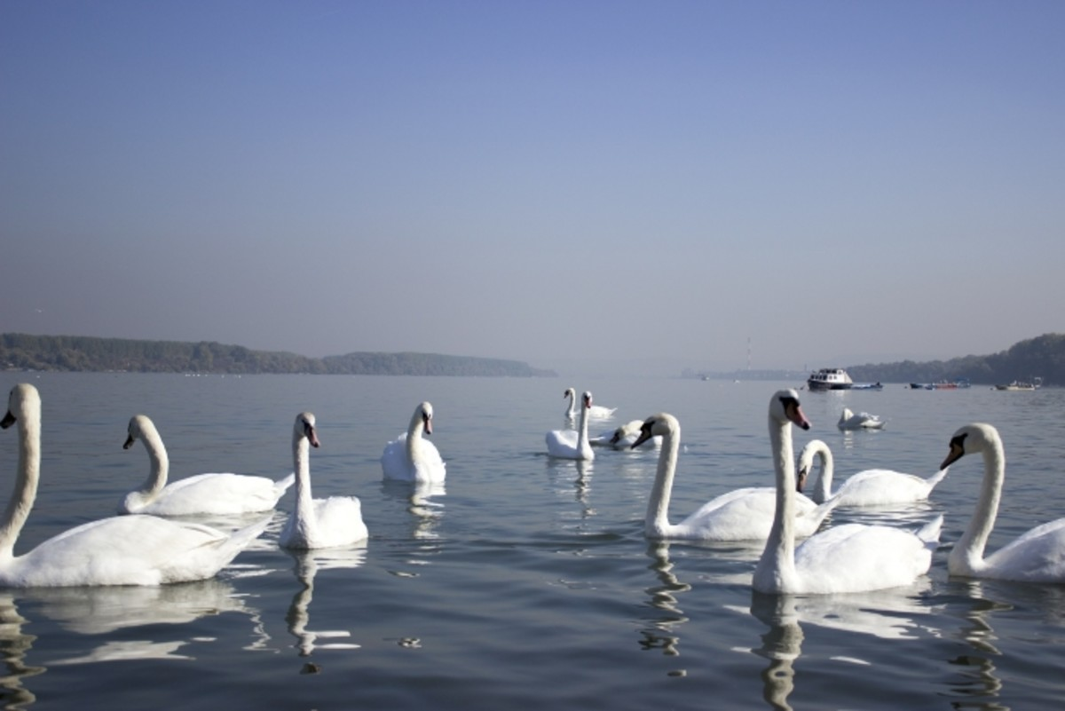herd of swans