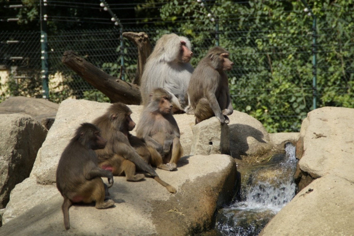 troop of baboons
