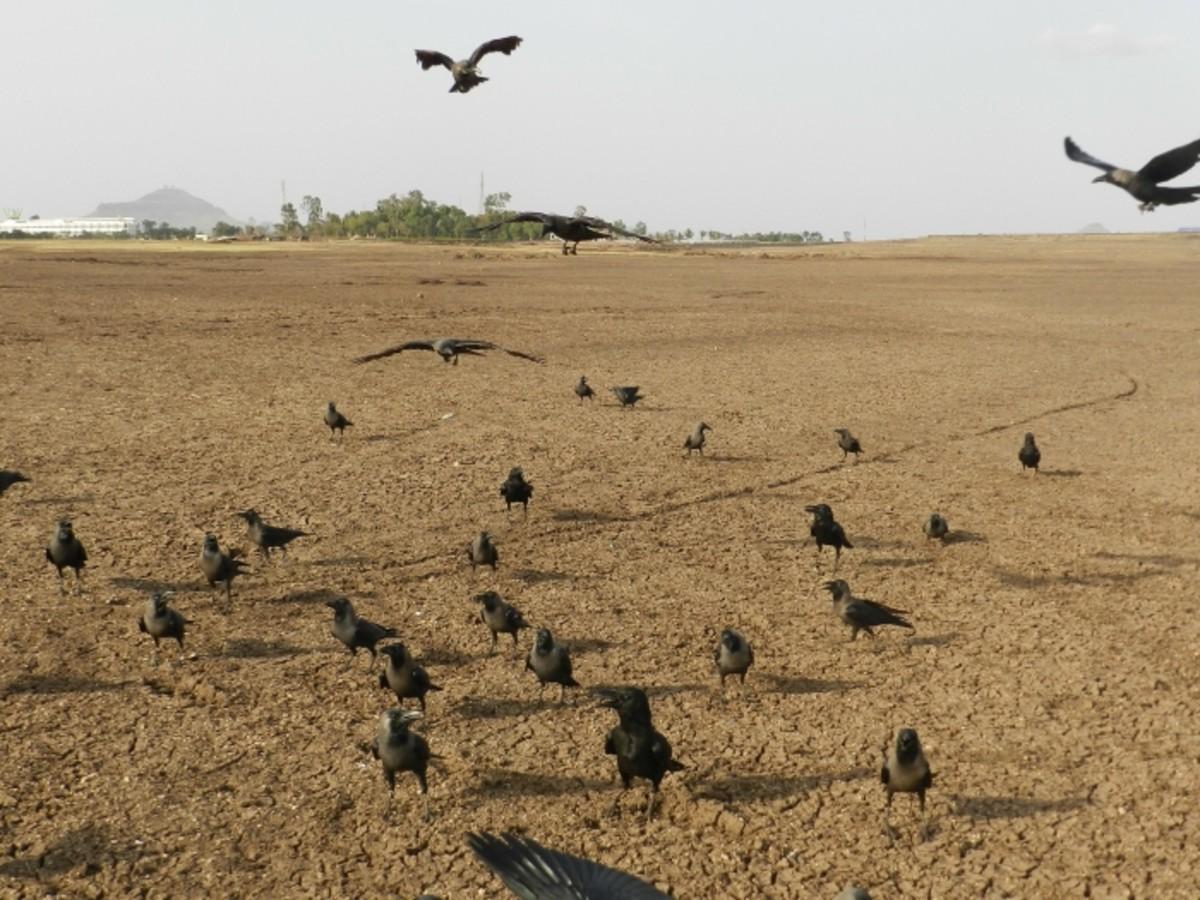 murder of crows