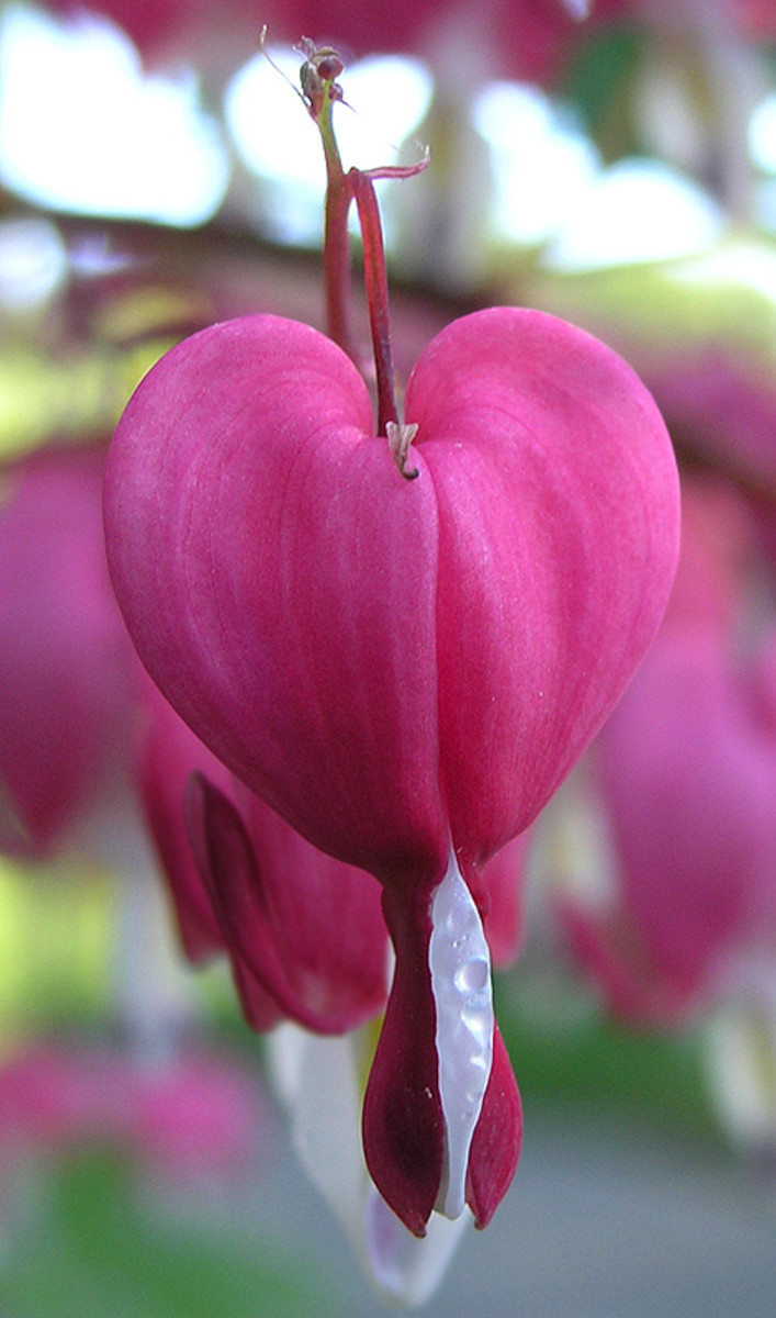 bleeding heart, Dicentra Spectabilis