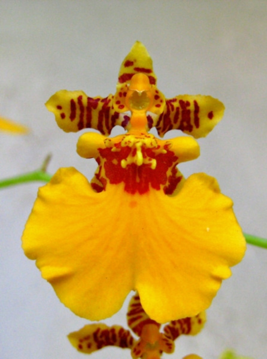 Miss Marigold Angel Orchid