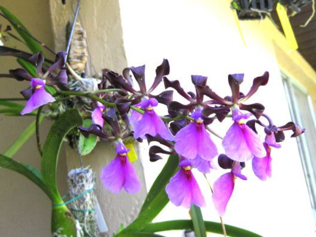 Here come the Warrior Guardian Angel Orchids in force!