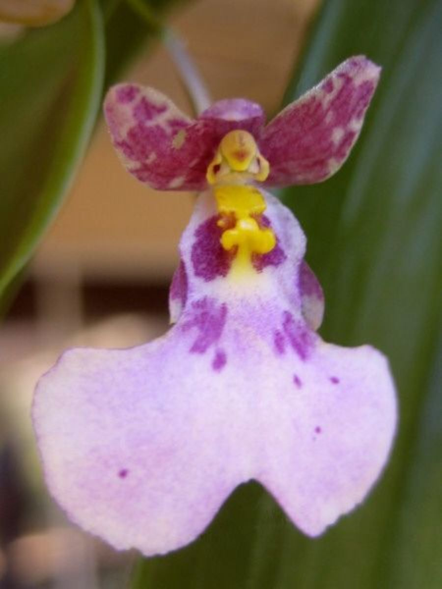 How to Care for Orchids 14 Steps with Pictures  wikiHow
