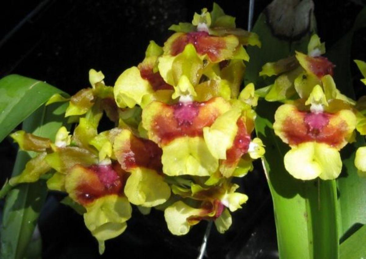 Angel Orchids descending en masse