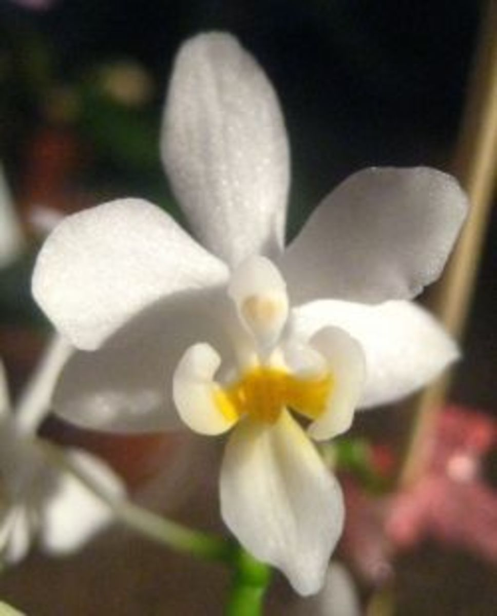 One of our little white angel orchids