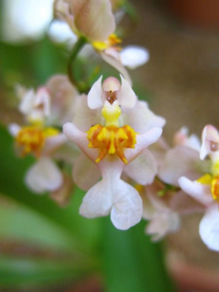 Joan of Arc Angel Orchid