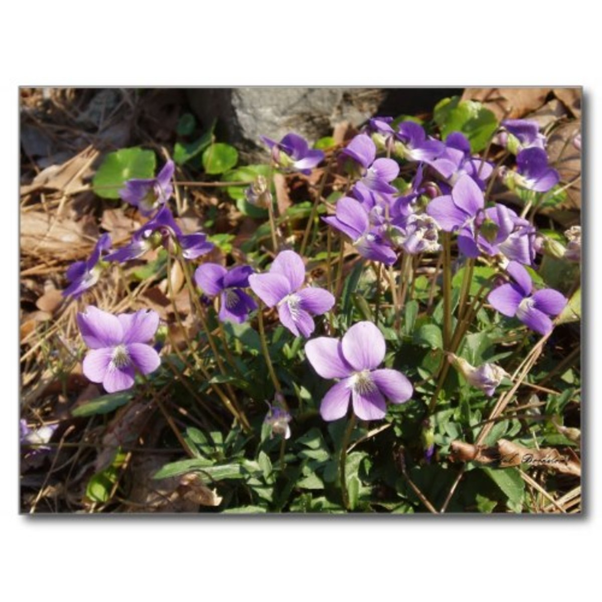 louisiana-native-violets-viola