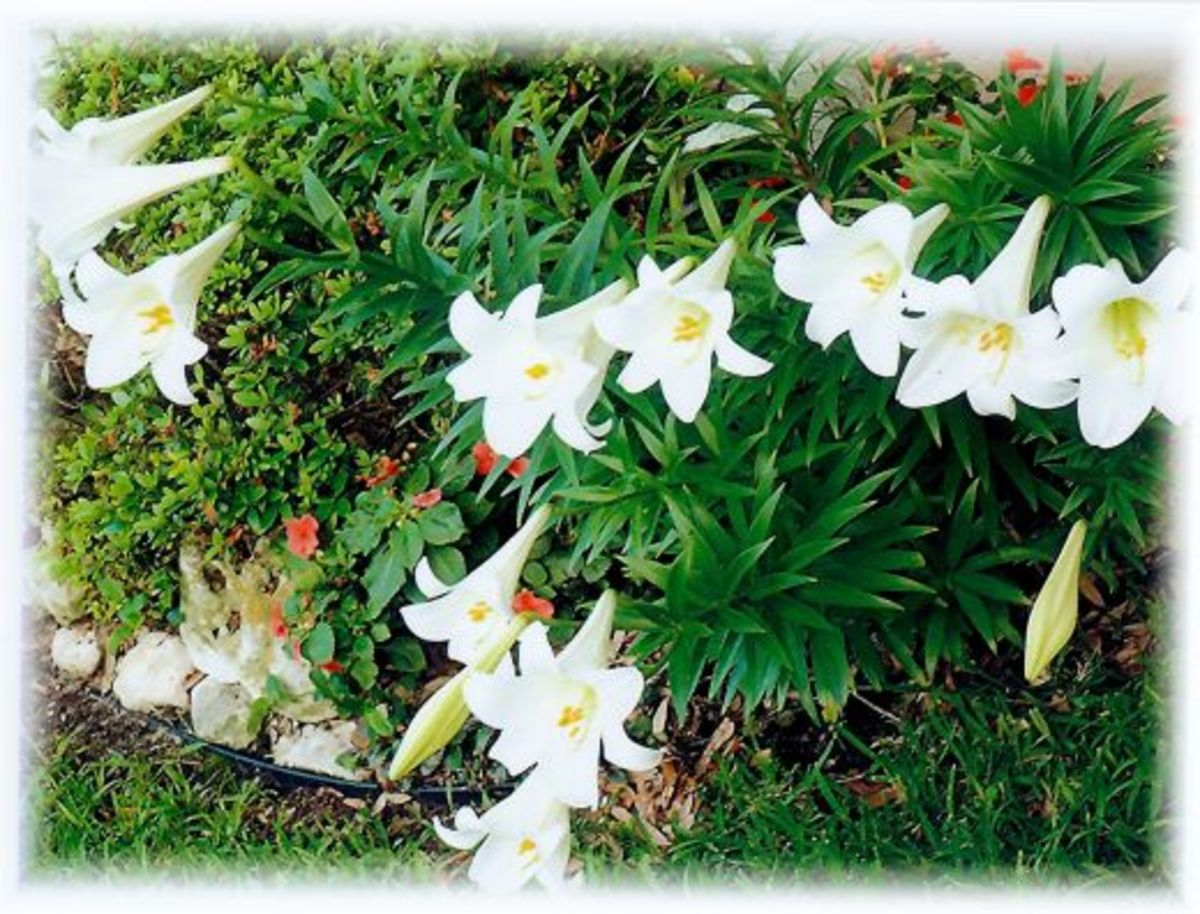 Easter lilies blooming in our backyard.