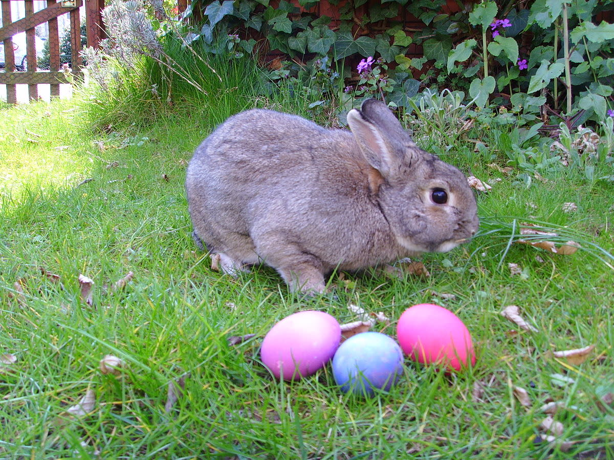Domestic rabbit & 3 Easter eggs