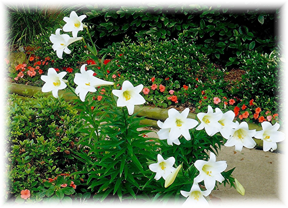 Easter lilies in our backyard