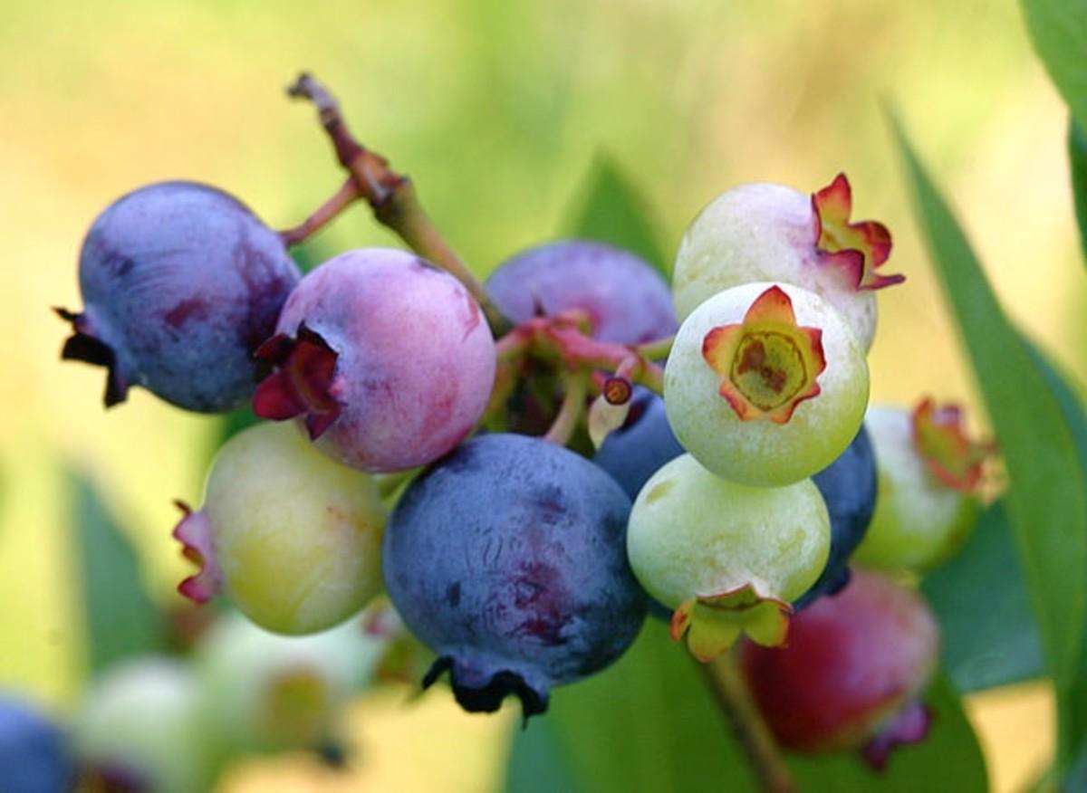Choosing the Ripest Blueberries