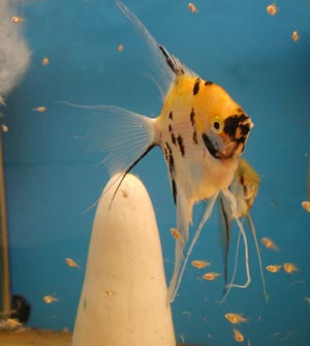 What Foods To Feed Baby Angelfish Fry
