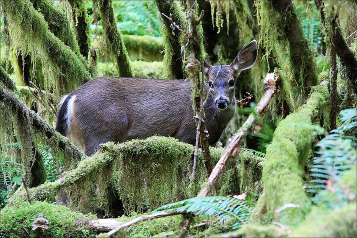 Roe Deer in Hoh Rainforest