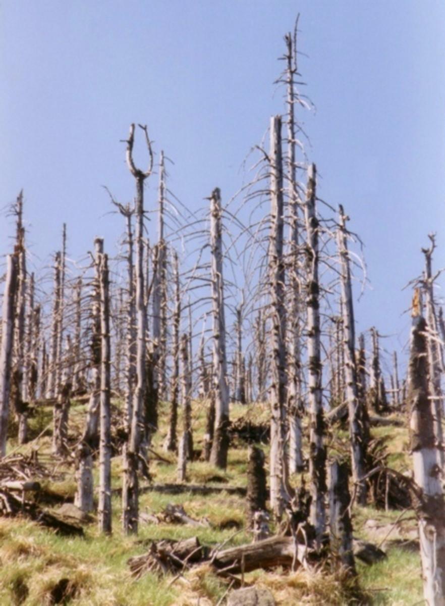 Acid rain damaged trees