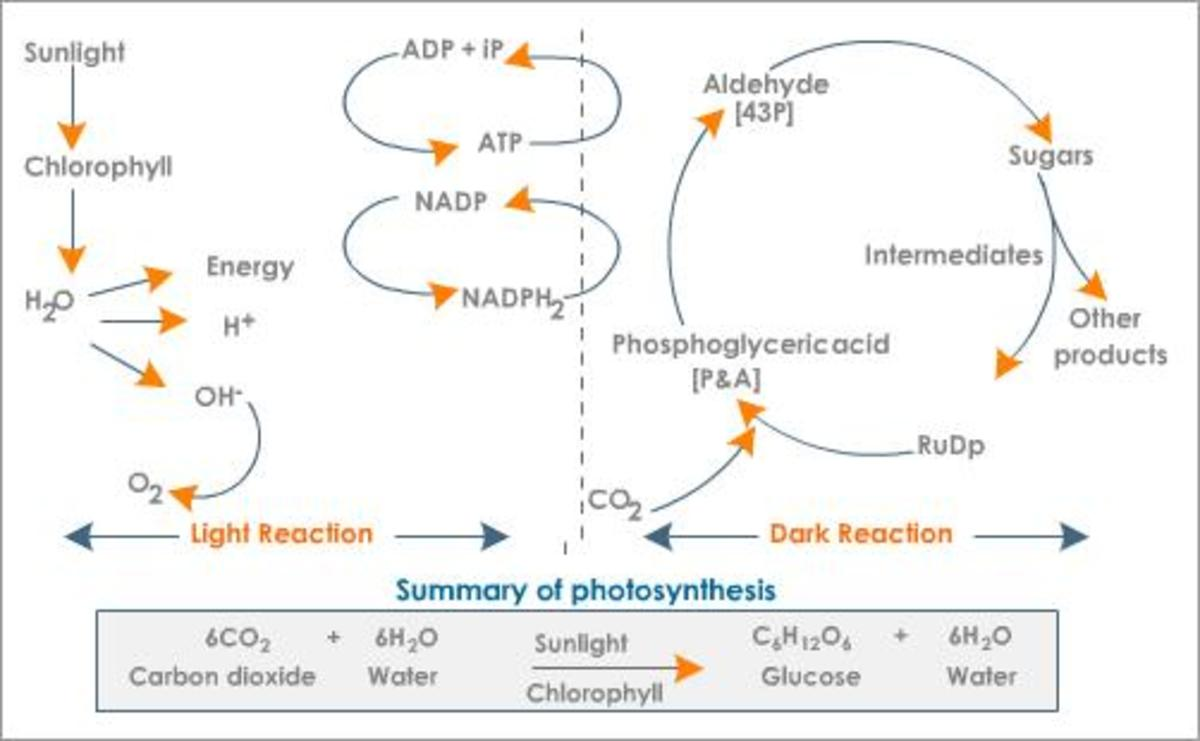 The basic process of photosynthesis is depicted in the diagram