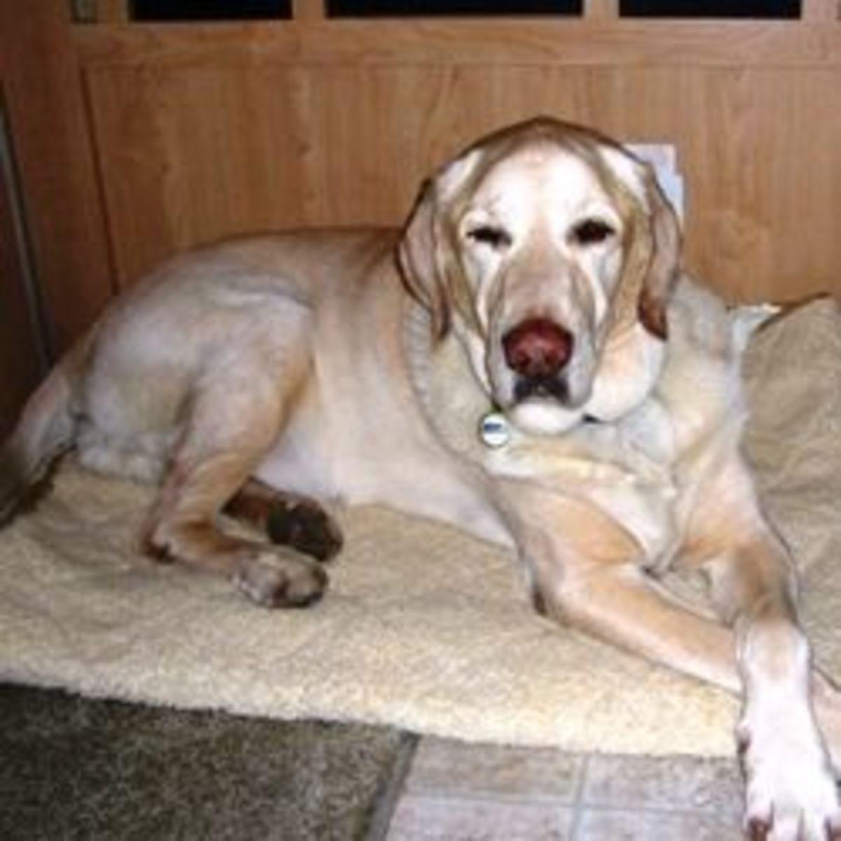 megaesphagus-dog
